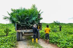 Wokers lifting a oil palm seedling from tractor to planted in a field. Wokers with oil palm seedlings in a field for planting programe Royalty Free Stock Images