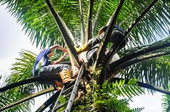 Palm oil Polinnation. Wokers making a control polination jobs in a oil palm tree for germinated oil palm seeds Royalty Free Stock Image