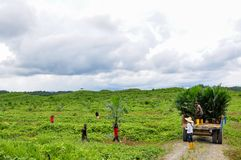 Wokers are doing oil palm planting in a field. Wokers with oil palm seedlings in a tractor for planting programe Stock Photography