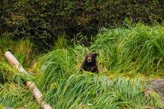 Wokoło przyrodni roczniak mały Grizzlycub, Alaska zdjęcia stock