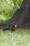 wokoło lasowej małej przyglądającej wiewiórki Obraz Royalty Free