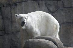 wokoło niedźwiadkowych biegunowych skał obrazy stock