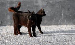 wokoło czarny target277_0_ kotów Zdjęcia Royalty Free