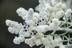 Wol van wildflower macrolammeren van westelijk Australië de inheemse Stock Fotografie