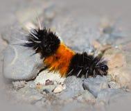 Wolachtig Caterpillar (draag) Stock Afbeelding