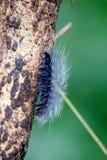 Wolachtig Zwart Caterpillar - de Reuzeluipaardmot Caterpillar stock afbeeldingen