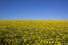 Wolds mustard Royalty Free Stock Photo