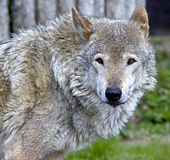 Wolf 10 Royalty Free Stock Photos