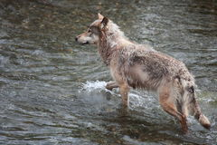 Wolf Stock Foto