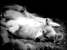 Wolf. Black and white Royalty Free Stock Photo