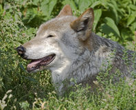 Wolf 12 Stock Images