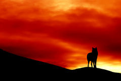 Wolf. Standing on the edge of a cliff at sunset Stock Photo