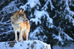 Wolf. A photo of a wolf in winter Royalty Free Stock Photo