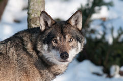 Wolf. A portrait of a wolf Royalty Free Stock Photo