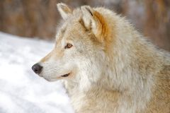 Wolf. A wolf listening to sounds in the distance Stock Photo