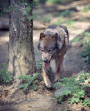 Wolf. In forest running around tree royalty free stock photo