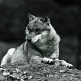 wolf Arkivfoton