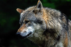 Wolf Royalty Free Stock Photos