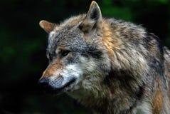 Wolf Royalty-vrije Stock Foto's