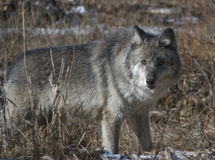 Wolf. A female wolf in the Canadian Rockies Royalty Free Stock Images