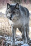 Wolf. Wild gray wolf in canada Royalty Free Stock Image
