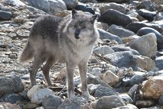 Wolf. Wild gray wolf in canada Royalty Free Stock Photos