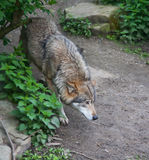 Wolf. In the spring forest Stock Photo