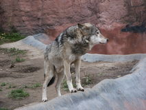 Wolf. Grey wolf among rocks Royalty Free Stock Images