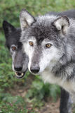 Wolf Stock Photography