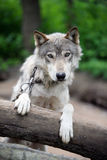Wolf. A wolf in lush nature Stock Images