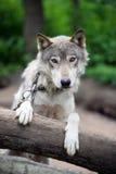 Wolf stock afbeeldingen