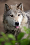 Wolf. A wolf in lush nature with it's tongue hanging out Royalty Free Stock Photo