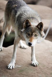 Wolf. A wolf standing above his den Stock Photography