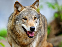 Wolf. In the natural environment of habitation Royalty Free Stock Photography