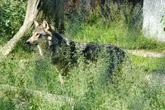 Wolf. Standing in the grass Stock Images