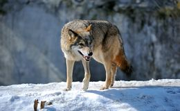 Wolf. In the natural environment of habitation Stock Image