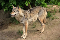 Wolf. Grey wolf in a zoo Royalty Free Stock Photography