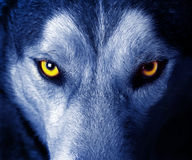 Wolf. Beautiful eyes of a wild wolf Stock Photos