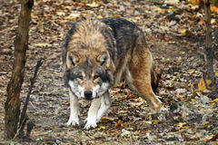 Wolf. Canis Lupus. October 2010 in Germany stock photography