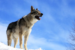 Wolf Royalty Free Stock Image