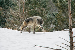 Wolf. Stalking on top of snowy hill Royalty Free Stock Image