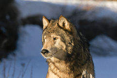 Wolf. Standing on tree stump Stock Images