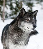 Wolf Stock Photos