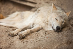 Wolf. Big white wolf sleeping, closeup Royalty Free Stock Photography