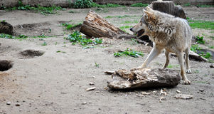 Wolf. The wild predator the grey wolf gnaws a tree Stock Images