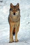 Wolf. Wild gray wolf in europa stock photography