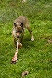 Wolf. In Bayerischer Wald eating meat Royalty Free Stock Image