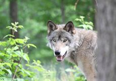 Wolf. Gray wolf in forest during summer Stock Photography