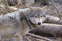 Wolf. Lone timber wolf breaks from pack to investigate stock images