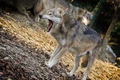 Wolf Royalty-vrije Stock Fotografie